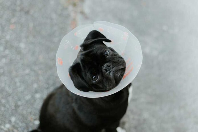 Dermatitis in Dogs