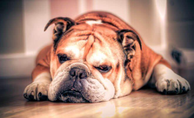 English Bulldog history