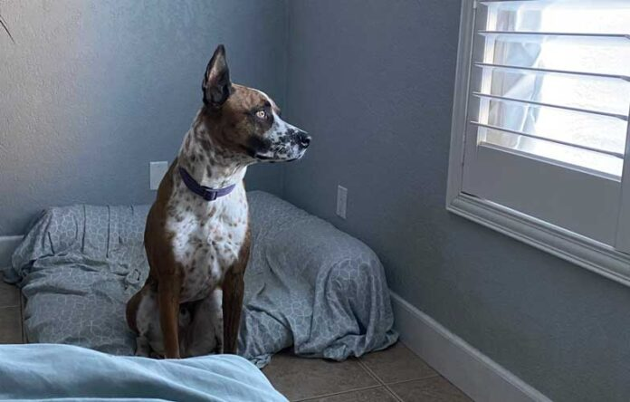 Dog cries when left home alone