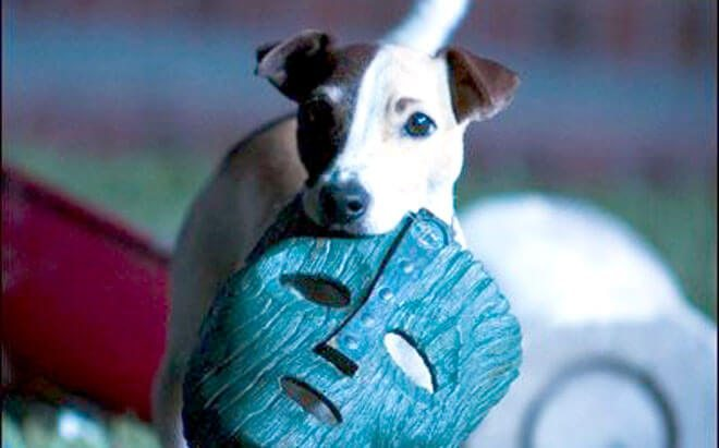 Jack russell price