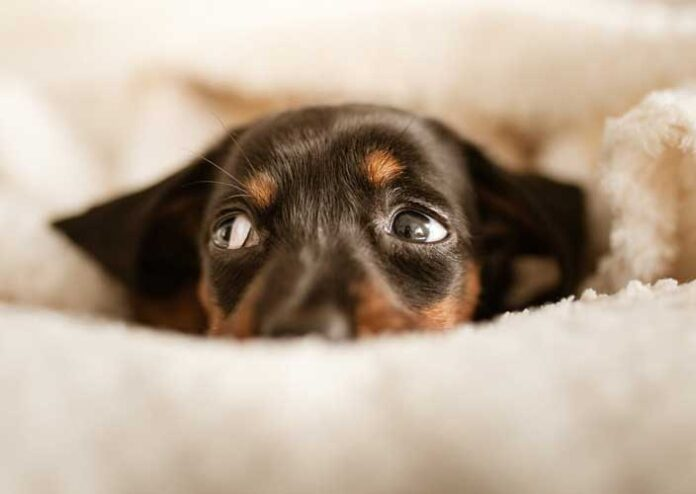 Dog phobia remedies