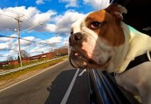 travel with your dog in the car