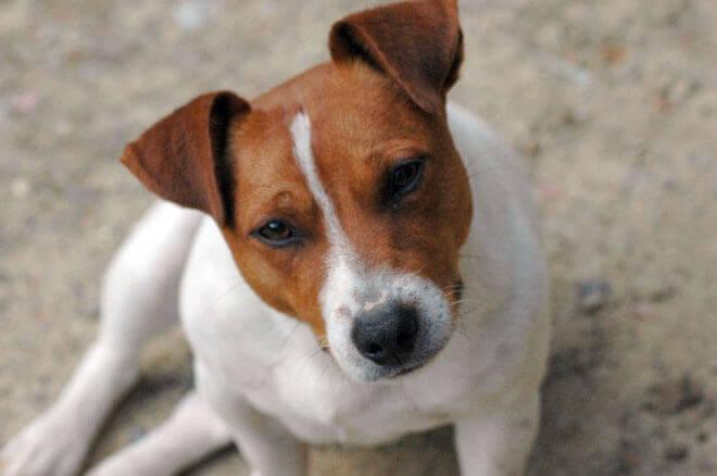 jack russel dog breed
