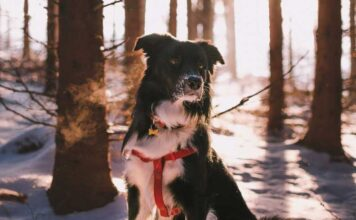 Dog collar or harness