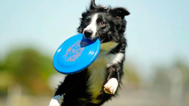 dog frisbee competition