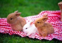 behavior of your dwarf rabbit