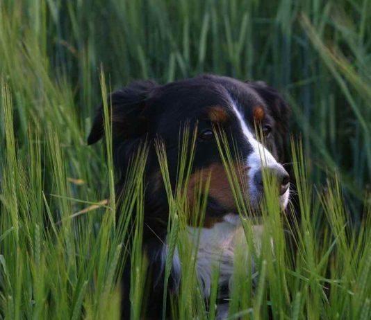 foxtail grass dog symptoms