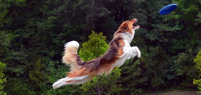 dog frisbee training