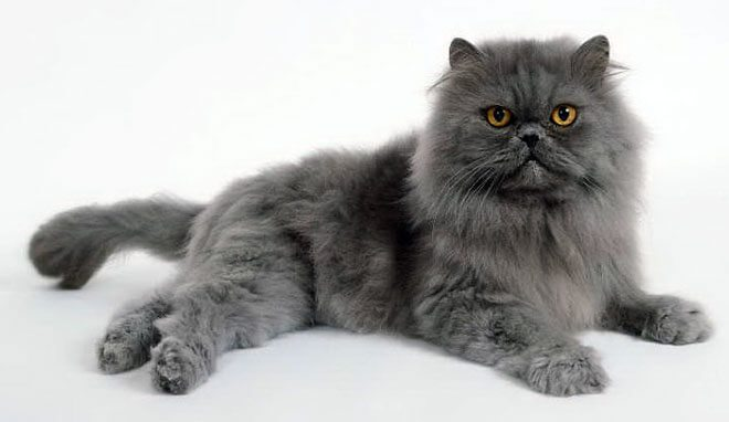 Persian cat breed standard