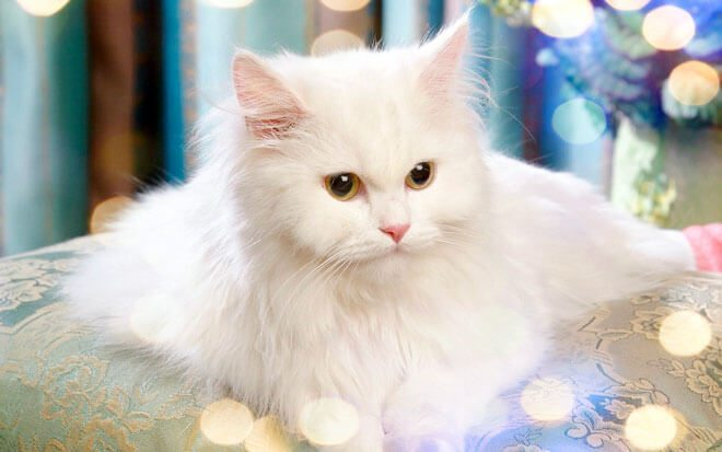Persian cat care