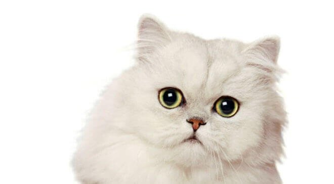 Types of Persian cats