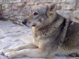 del gigante lupine dog