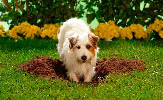 dog digging